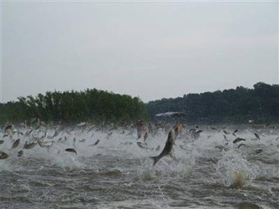TWRA encourages fishing of invasive Asian carp